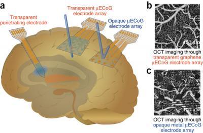 Graphene transparent electrodes for neuroscience image