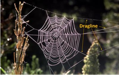 Seevix dragline spidersilk image